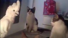 ネコの鳴き声をまねるオウム