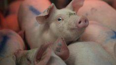 メキシコ、米国からの豚肉に20%の関税適用へ=関係筋
