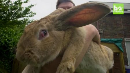 【ペット】食費もハンパない!「世界一大きなウサギ」の息子