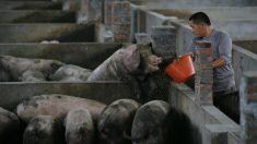 アフリカ豚コレラ、中国で感染拡大 東南アジアへの拡散が懸念される