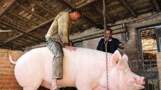 「不幸な星の元に生まれた」900キロの豚に買い手なく…中国遼寧省