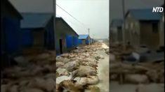 【動画ニュース】中国のアフリカ豚コレラは制御不能な状況に 街中に豚の死骸放置
