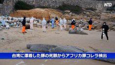 【動画ニュース】台湾に漂着した豚の死骸からアフリカ豚コレラ検出