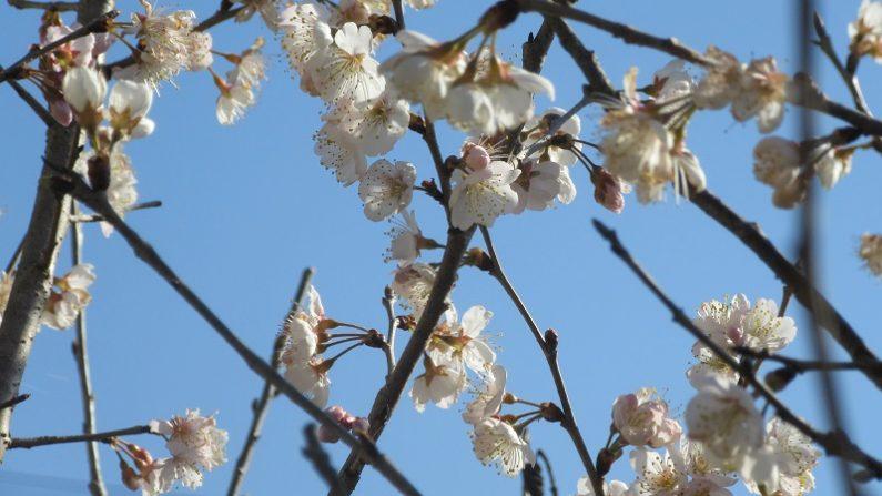 【散歩道で見た花や風景】サクランボの花が咲いた