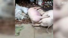 【動画ニュース】至る所に豚の死骸 広東省でアフリカ豚コレラ蔓延