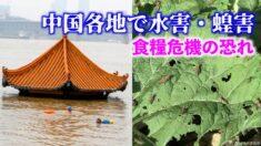 中国で大量のイナゴが発生 食糧危機の恐れ【禁聞】