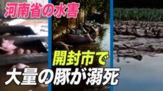 河南省開封市で大量の豚が溺死 「悪臭で息もできない」